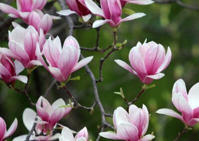 Bomen, Magnolia, Acer groenenplantdesign