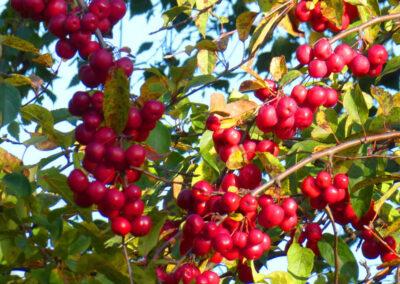 Fruitbomen, Leipeer, Sierappel